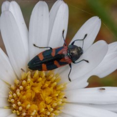 Castiarina helmsi (A jewel beetle) at Cotter River, ACT - 23 Dec 2020 by DPRees125