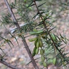 Acacia ulicifolia (Prickly Moses) at Currawang, NSW - 26 Dec 2020 by camcols