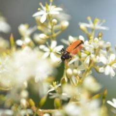 Castiarina erythroptera (Lycid Mimic Jewel Beetle) at Wamboin, NSW - 25 Dec 2020 by natureguy