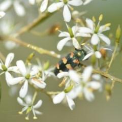 Castiarina sexplagiata (Six-spotted Castiarina jewel beetle) at Wamboin, NSW - 25 Dec 2020 by natureguy