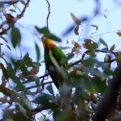 Polytelis swainsonii (Superb Parrot) at Florey, ACT - 26 Dec 2020 by Kurt