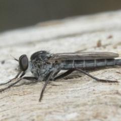 Cerdistus sp. (genus) (Robber fly) at Hackett, ACT - 25 Dec 2020 by TimL