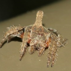 Dolophones turrigera (Turret spider) at ANBG - 18 Dec 2020 by TimL