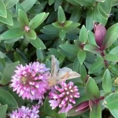 Chrysodeixis subsidens (A Noctuid moth) at Murrumbateman, NSW - 26 Dec 2020 by SimoneC