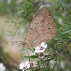 Heteronympha merope (Common Brown) at Kambah, ACT - 25 Dec 2020 by MatthewFrawley
