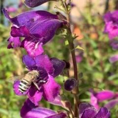 Amegilla (Notomegilla) chlorocyanea (Blue Banded Bee) at Murrumbateman, NSW - 26 Dec 2020 by SimoneC