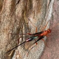 Ichneumonidae sp. (family) (Unidentified ichneumon wasp) at Murrumbateman, NSW - 26 Dec 2020 by SimoneC