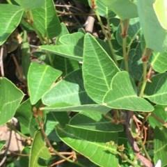 Hardenbergia violacea (False Sarsaparilla) at Red Hill Nature Reserve - 19 Dec 2020 by Tapirlord
