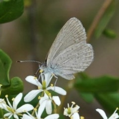 Zizina otis (Common Grass-blue) at Red Hill Nature Reserve - 26 Dec 2020 by JackyF