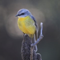 Eopsaltria australis (Eastern Yellow Robin) at ANBG - 31 Jul 2020 by Alison Milton