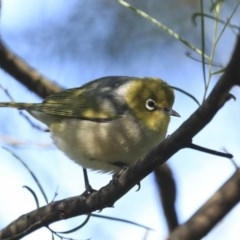 Zosterops lateralis (Silvereye) at ANBG - 31 Jul 2020 by Alison Milton
