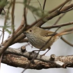 Acanthiza pusilla (Brown Thornbill) at ANBG - 11 Aug 2020 by Alison Milton