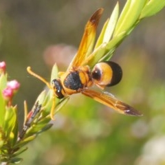 Eumeninae sp. (subfamily) (Unidentified Potter wasp) at Black Mountain - 22 Dec 2020 by Harrisi