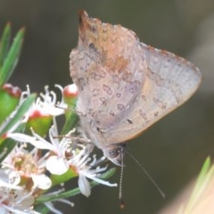 Paralucia aurifer (Bright Copper) at Wee Jasper, NSW - 24 Dec 2020 by Harrisi