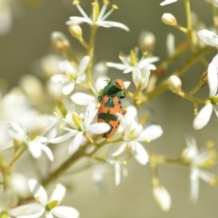 Castiarina hilaris (A jewel beetle) at Wamboin, NSW - 25 Dec 2020 by natureguy
