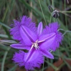 Thysanotus tuberosus subsp. tuberosus (Common Fringe-lily) at Currawang, NSW - 18 Dec 2020 by camcols
