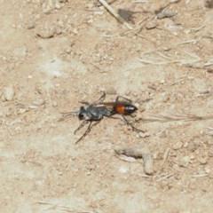 Podalonia tydei (Caterpillar-hunter wasp) at Mount Majura - 25 Dec 2020 by TimL