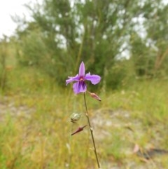 Arthropodium fimbriatum (Chocolate Lily) at Mount Taylor - 25 Dec 2020 by MatthewFrawley