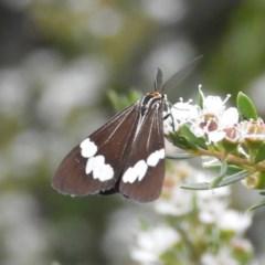 Nyctemera amicus (Senecio or Magpie moth) at Kambah, ACT - 25 Dec 2020 by MatthewFrawley