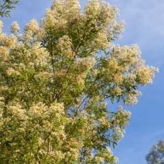 Ceratopetalum gummiferum (New South Wales Christmas-bush, Christmas Bush) at Penrose - 14 Dec 2020 by Aussiegall
