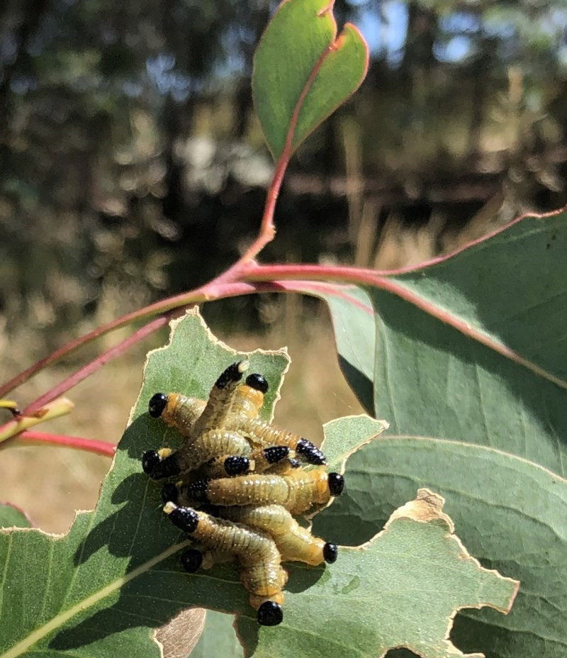 Pseudoperga sp. (genus) at Hughes Garran Woodland - 27 Dec 2020