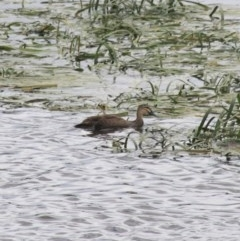 Anas superciliosa (Pacific Black Duck) at Goulburn, NSW - 22 Dec 2020 by Rixon