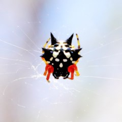 Austracantha minax (Christmas Spider, Jewel Spider) at Dryandra St Woodland - 27 Dec 2020 by ConBoekel