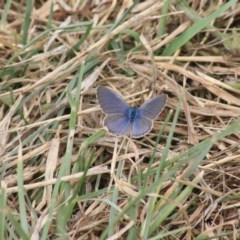 Zizina otis (Common Grass-blue) at Jerrabomberra Wetlands - 20 Dec 2020 by Rixon