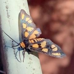 Amata (genus) (Handmaiden) at Aranda, ACT - 27 Dec 2020 by KMcCue