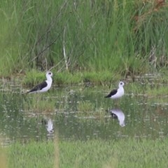 Himantopus leucocephalus (Pied Stilt) at Jerrabomberra Wetlands - 20 Dec 2020 by Rixon