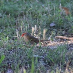 Neochmia temporalis (Red-browed Finch) at Fyshwick, ACT - 15 Nov 2020 by Rixon