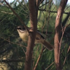 Sericornis frontalis (White-browed Scrubwren) at Jerrabomberra Wetlands - 15 Nov 2020 by Rixon