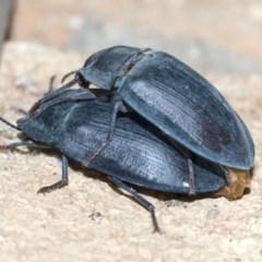 Pterohelaeus piceus (Pie-dish beetle) at Higgins, ACT - 25 Dec 2020 by AlisonMilton