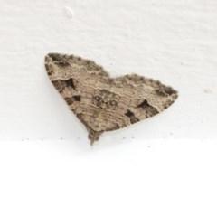 Epyaxa sodaliata (A geometer moth) at Higgins, ACT - 24 Dec 2020 by AlisonMilton