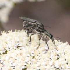 Eleale aspera (Clerid beetle) at Acton, ACT - 15 Nov 2020 by AlisonMilton
