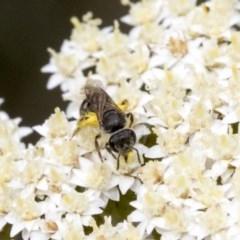 Lasioglossum (Chilalictus) sp. (genus & subgenus) (Halictid bee) at Acton, ACT - 15 Nov 2020 by AlisonMilton