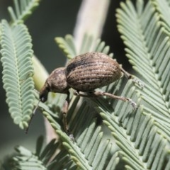 Perperus sp. (genus) (Weevil) at Goorooyarroo - 6 Nov 2020 by AlisonMilton