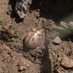 Paropsisterna sp. (Ch11 of DeLittle 1979) (A leaf beetle) at Goorooyarroo - 6 Nov 2020 by AlisonMilton