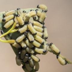 Paropsis genus-group (Unidentified 'paropsine' leaf beetle) at Hawker, ACT - 13 Nov 2020 by AlisonMilton