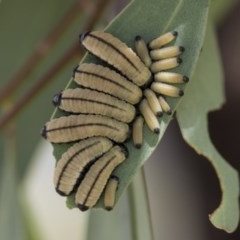 Paropsini sp. (tribe) (Unidentified paropsine leaf beetle) at Hawker, ACT - 13 Nov 2020 by AlisonMilton