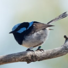 Malurus cyaneus (Superb Fairywren) at Mount Ainslie - 26 Dec 2020 by patrickcox