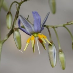 Dianella sp. aff. longifolia (Benambra) (Pale Flax Lily, Blue Flax Lily) at Illilanga & Baroona - 26 Dec 2020 by Illilanga