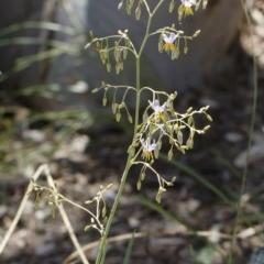 Dianella sp. aff. longifolia (Benambra) at Illilanga & Baroona - 26 Dec 2020