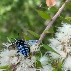 Thyreus caeruleopunctatus (Chequered cuckoo bee) at Murrumbateman, NSW - 27 Dec 2020 by SimoneC