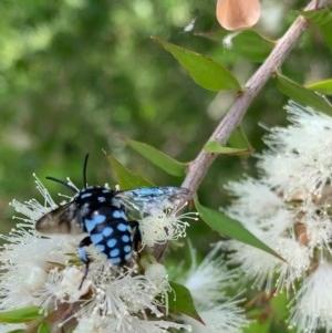 Thyreus caeruleopunctatus at Murrumbateman, NSW - 27 Dec 2020