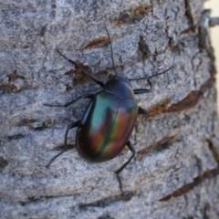 Chalcopteroides cupripennis at Michelago, NSW - 27 Dec 2020