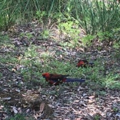 Platycercus elegans (Crimson Rosella) at ANBG - 26 Dec 2020 by Tapirlord