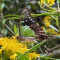 Graphium macleayanum (Macleay's Swallowtail) at ANBG - 27 Dec 2020 by Tapirlord