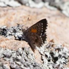 Lucia limbaria (Chequered Copper) at Illilanga & Baroona - 26 Dec 2020 by Illilanga