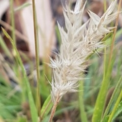Enneapogon nigricans (Nine-awn Grass, Bottlewashers) at Bass Gardens Park, Griffith - 27 Dec 2020 by SRoss